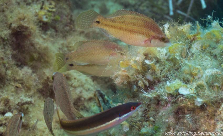 Fischvielfalt, Dr. Wolfgang Strickling, Spiro-Sub, Marina di Campo (Elba), Italien