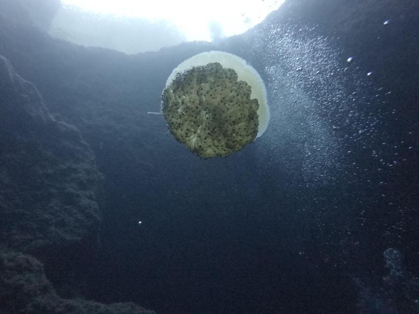 Spiegelei Qualle, Blue Hole, Gozo, Dive Smart Gozo, DiveSmart Gozo, Malta