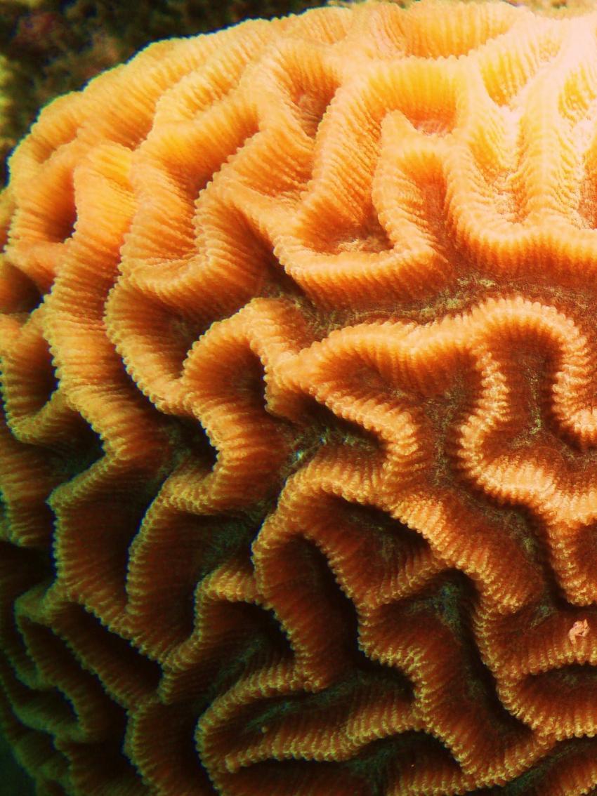 Koh Tao, Koh Tao,Thailand,Gehirnkoralle,Koralle