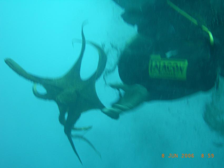 Potos / Insel Thassos, Potos,Insel Thassos,Griechenland,Krake,angreifen,provoziert,Oktopus,Übergriff