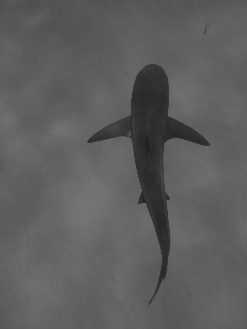 Sharkschool, Grand Bahama,Bahamas,Karibischer Riffhai