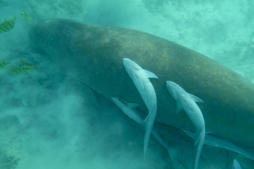 Dugong, Hany Dolphin Blue, Ägypten, Safaga
