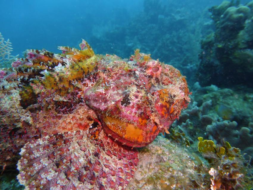 Skorpionsfisch