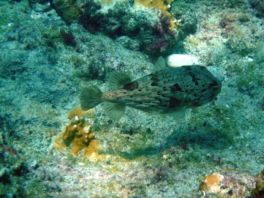 Boa Vista, Boa Vista,Kap Verde,Igelfisch,Diodontidae