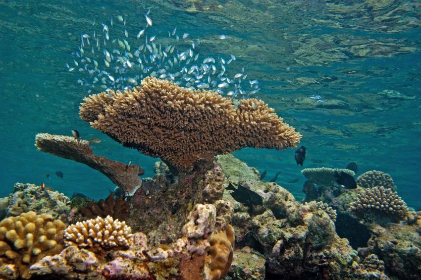 Lhaviyani Atoll Komandoo, Lhaviyani Atoll Komandoo,Malediven,Hausriff,. Korallen