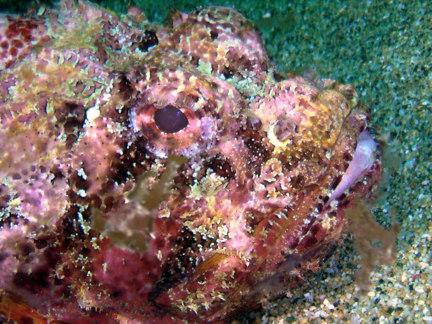 Arnos Vale; Tobago, Arnos Vale,Tobago,Trinidad und Tobago,Skorpionsfische,Drachenkopf