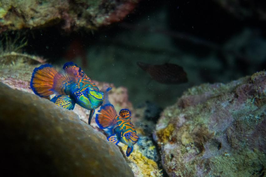 Mandarinfische - auf Wakatobi nur mit der Pelagian