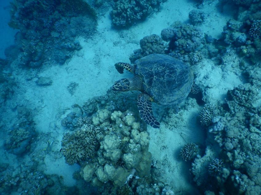 Schildkröte, Coraya Divers, Coraya Beach, Marsa Alam, Ägypten, Marsa Alam und südlich
