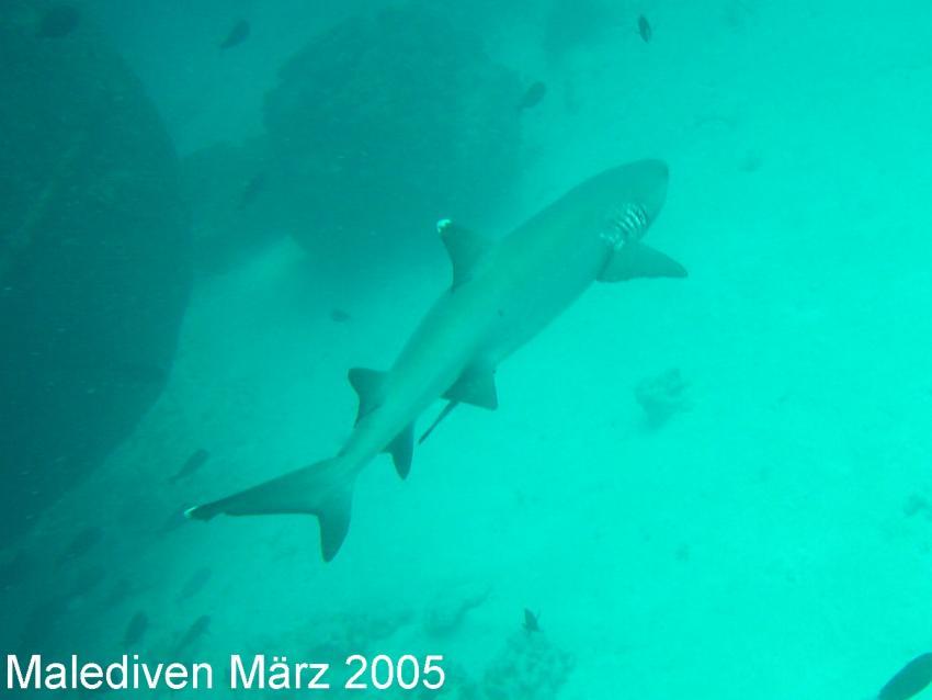 Süd-Male-Atoll, Süd-Male-Atoll,Malediven,Weißspitzenriffhai