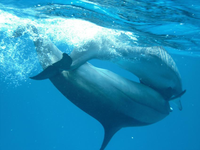 Shaab Marsa Alam , Delfine, Sha´ab Marsa Alam,Ägypten,delfine,trächtig