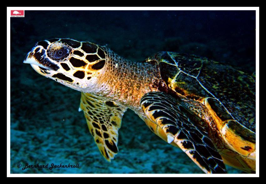 Bilder aus Selayar, Sued Sulawesi,Selayar,Indonesien,Schildkröte