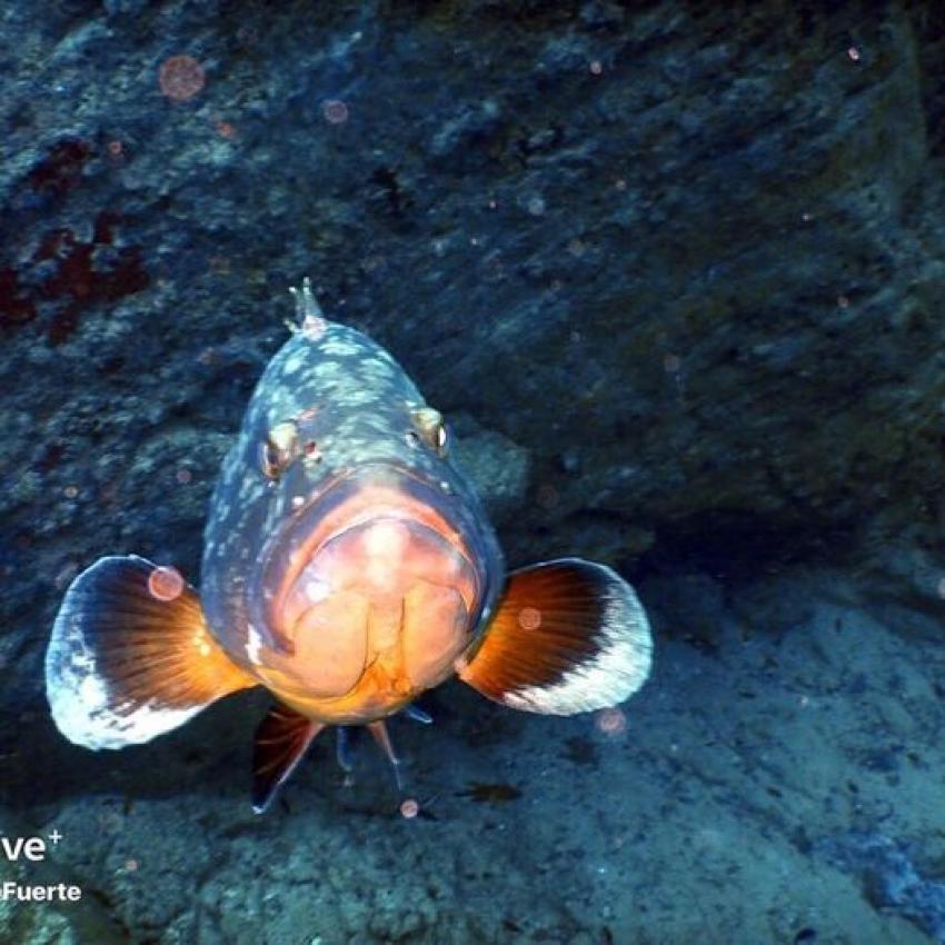 Pepe the grouper, Zackenbarsch, Grouper, Dive Pro Fuerte, Fuerteventura, Spanien, Kanaren (Kanarische Inseln)