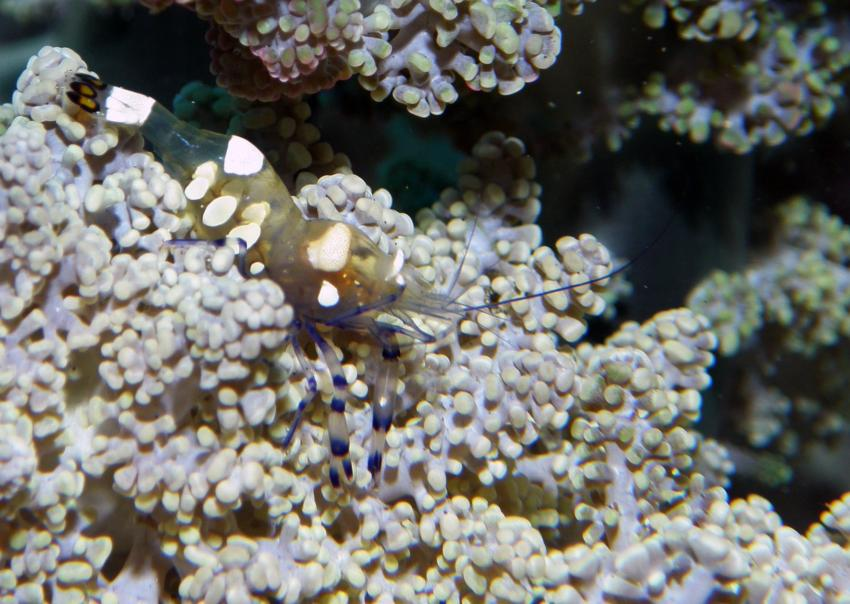 Bali Padangbai WaterWorx, Padang Bai,Bali,Indonesien,Garnele,koralle