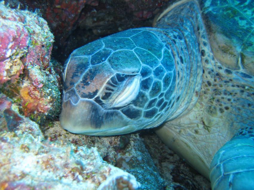 Bunaken 2009, Sulawesi,Indonesien,Meeresschildkröten,Cheloniidae