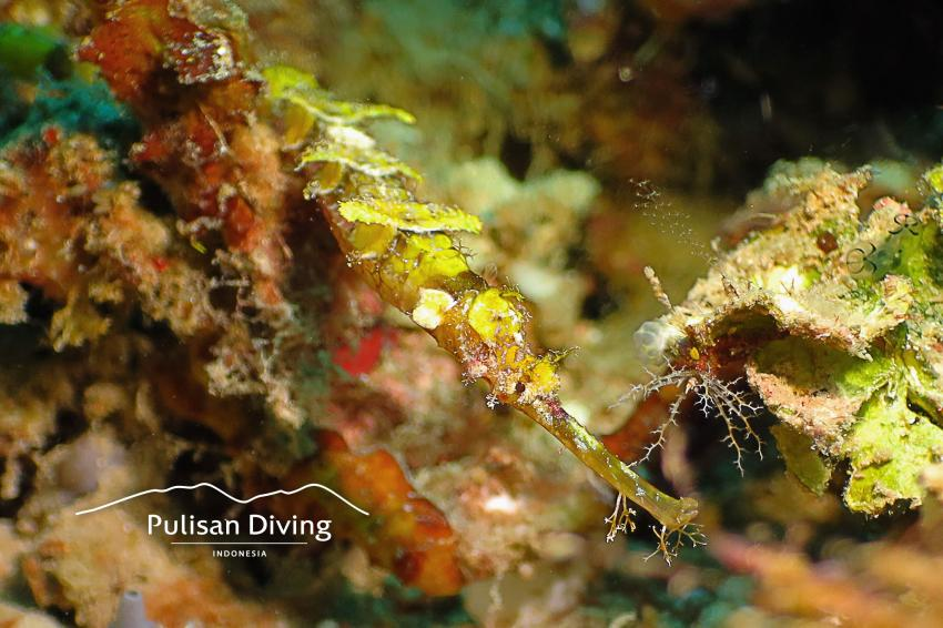 Pulisan Diving, Pipefish, Bangka, Indonesia