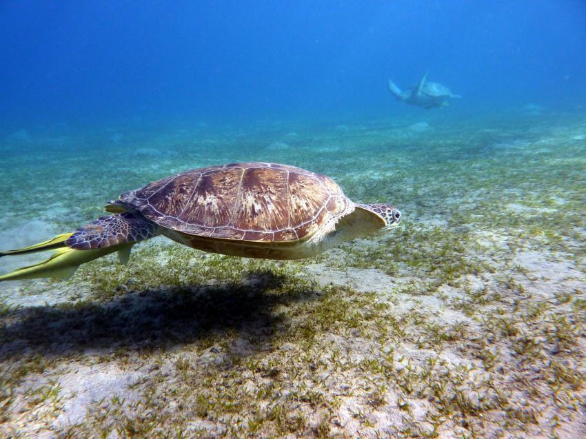 El Quseir, El Quseir,Ägypten,Meeresschildkröte