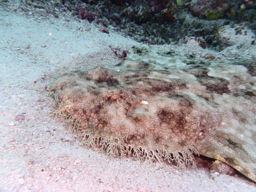 Wobbegong, Kri Eco Resort, Raya Empat Islands, Indonesien, Allgemein