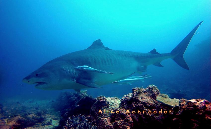 Tigerhai, Coral Coast Divers, 'The Colosseum' , Tigerhai, Fidschi, Coral Coast Divers