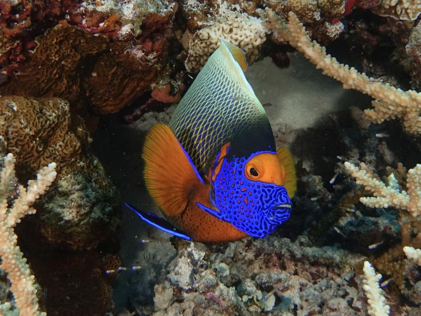 Blaukopf Kaiserfisch, Pomacanthus xanthometopon, Blaukopf Kaiserfisch, Kaiserfisch, DivePoint Rannalhi, Malediven