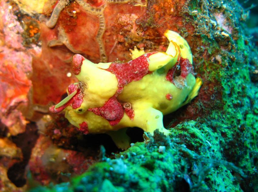 Tulamben, Tulamben,Indonesien,Froschfisch,gelb-rot