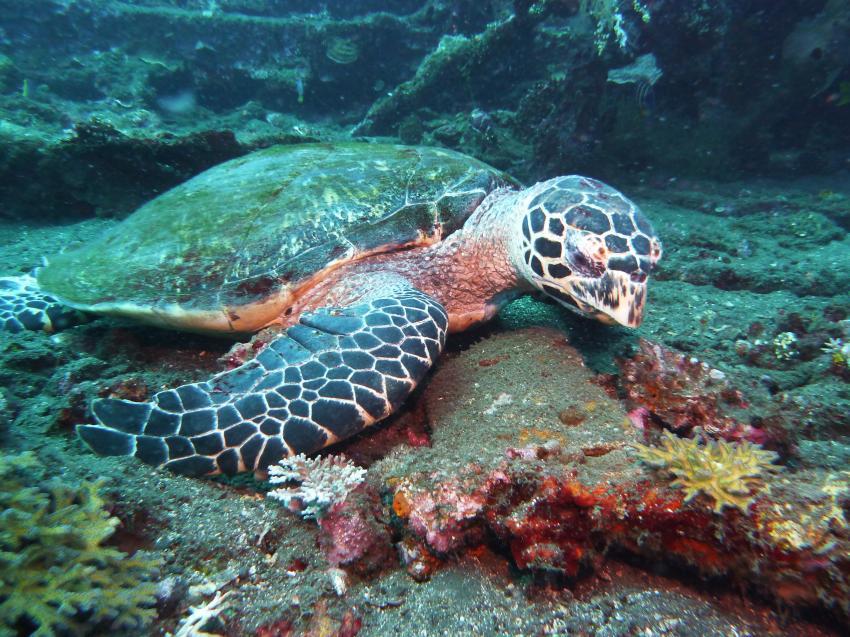 Schildkröte inspiziert ihr Futter