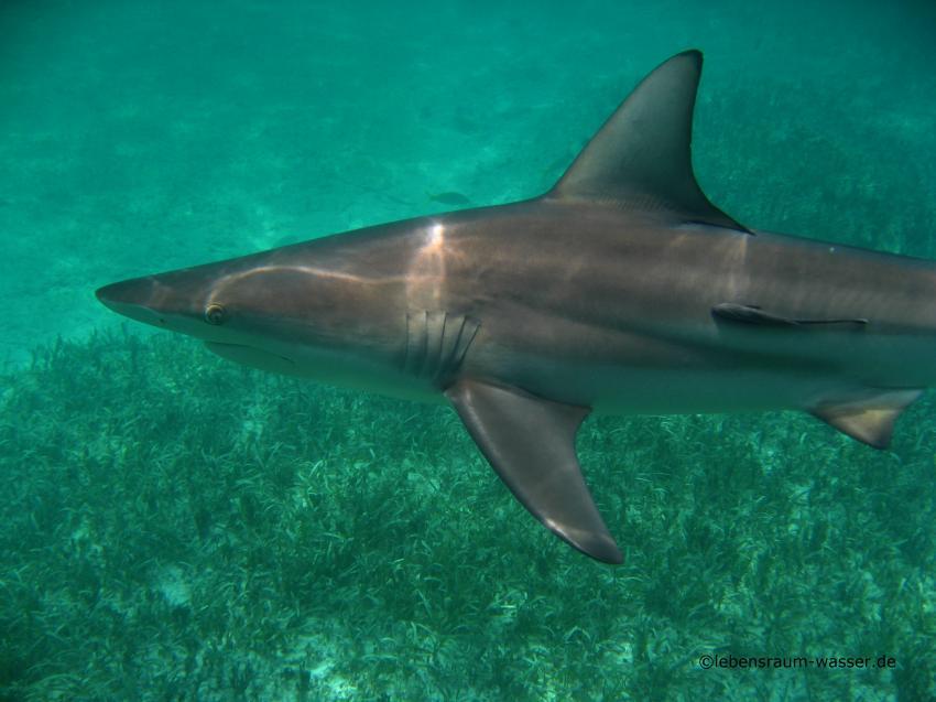 Grand Cay Sharkschool, Grand Cay,Bahamas,Charcharhinus limbatus (Schwarzspitzenhai)