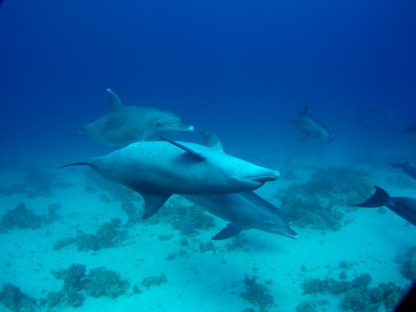Hurghada - Fanus West, Fanus West,Hurghada,Ägypten,Delfin,Cetacea