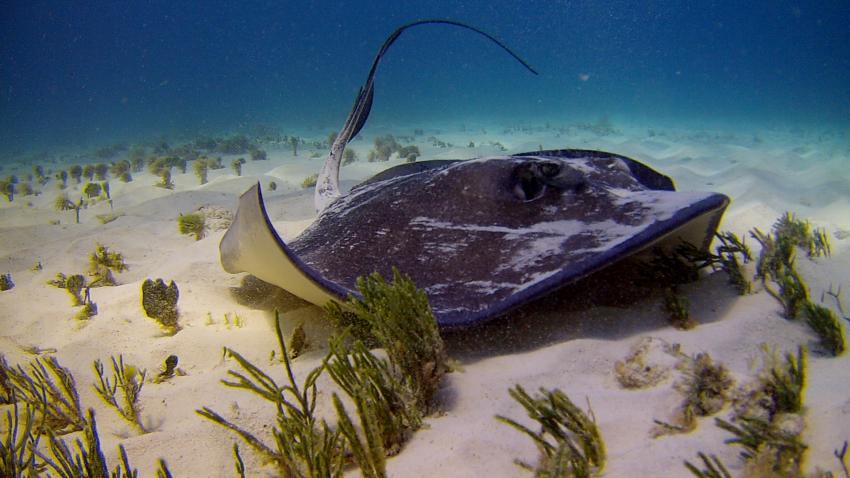 Unterwasser mit ScubaCaribe, Stachelrochen, Eagle Ray, ScubaCaribe Cancun - RIU Hotels, Mexiko