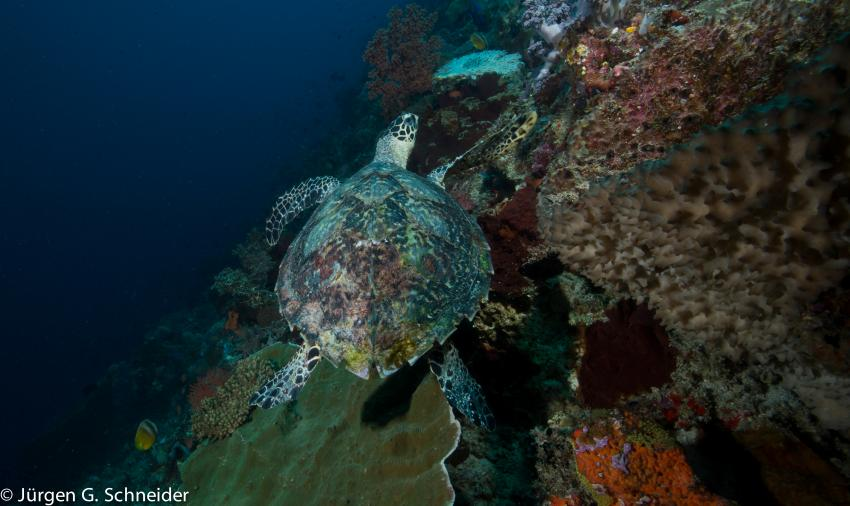 Halmahera, Halmahera,Indonesien,Schildkröte