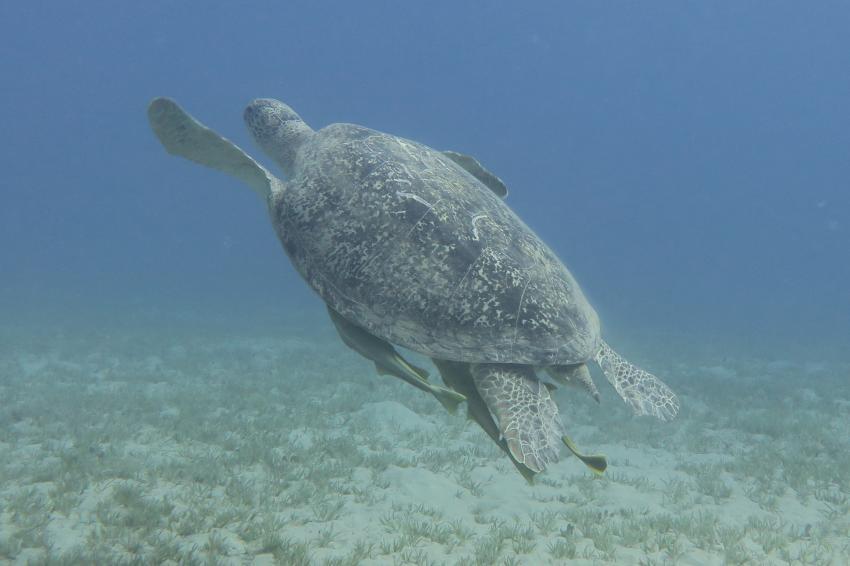 schildkröte, Hany Dolphin Blue, Ägypten, Safaga