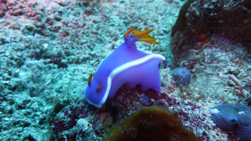 Dive Hub, Dive-Philippinen,Philippinen,Prachtsternschnecke,Nacktschnecke,lila