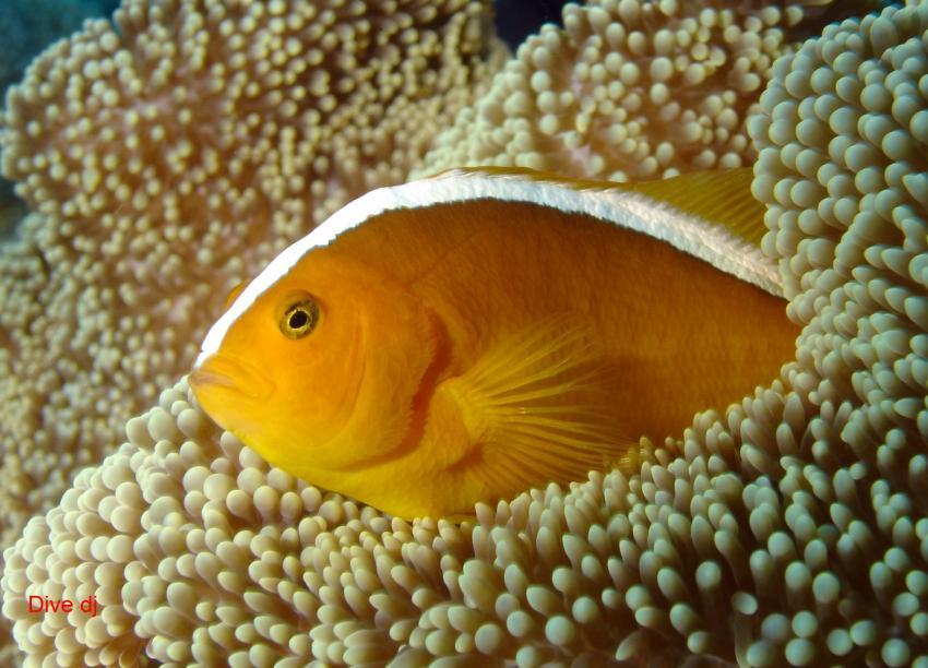 Layang Layang, Layang Layang,Malaysia,Anemonenfisch