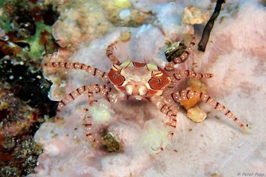 Krabbe, Sea Souls Diving Nord Sulawesi, Indonesien, Sulawesi