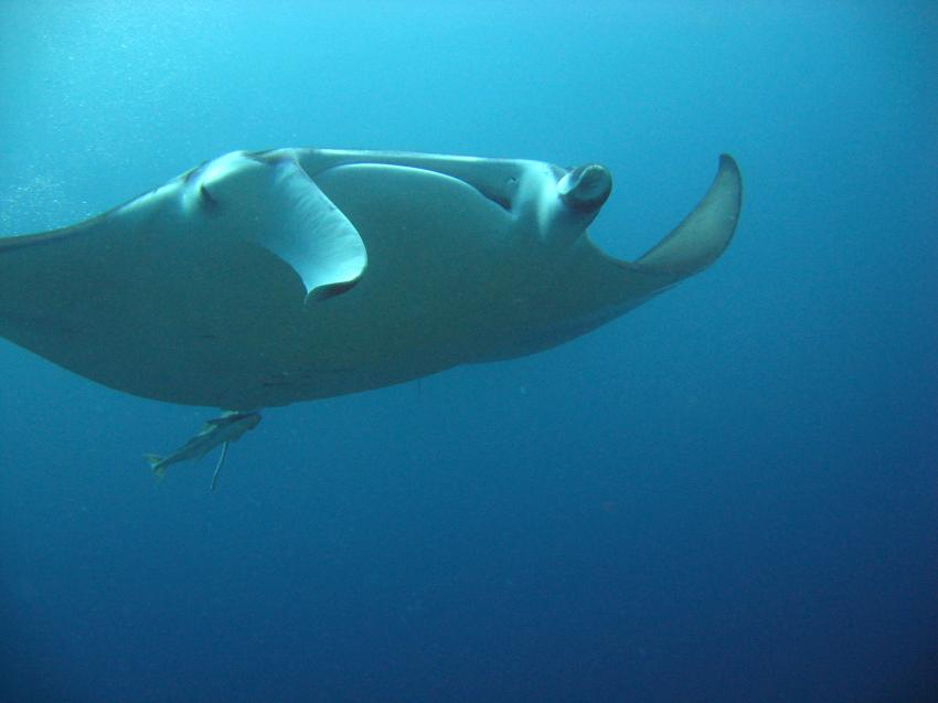 Paradise Island / Manta Point (Nord Male Atoll), Paradise Island,Malediven,Mantas,Mantarochen