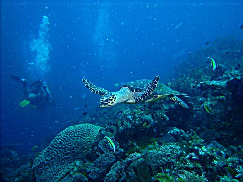 West-Papua Raja Ampat, West-Papua Raja Ampat,Indonesien,schildkröte
