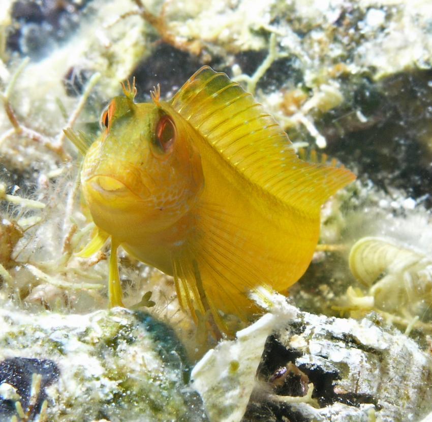 Ponza, Ponza,Italien,Schleimfisch,gelb