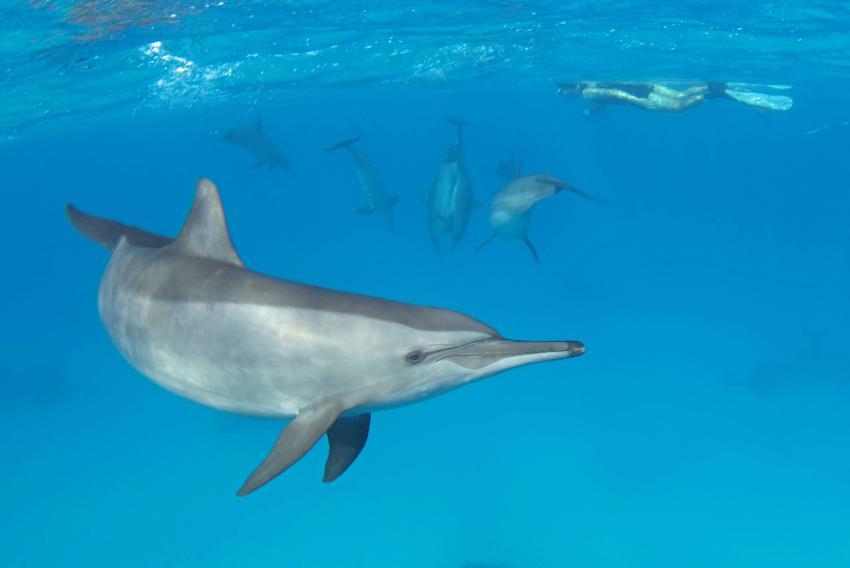 Delfine - Aquatic Divers hausriff, Delfine - Aquatic Divers hausriff, Aquatic Divers, Pensee Royal Garden, Ägypten, El Quseir bis Port Ghalib
