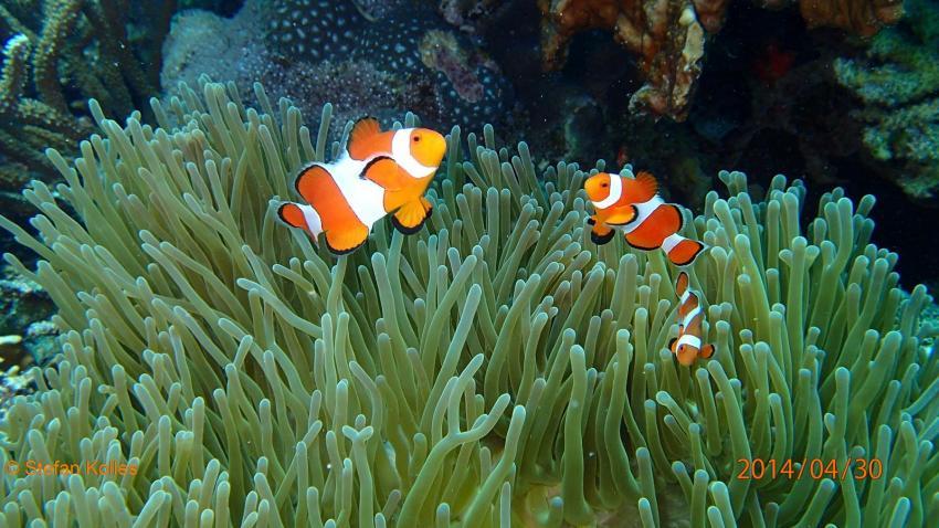 Clownfisch, Nemo, Anemone, Philippinen