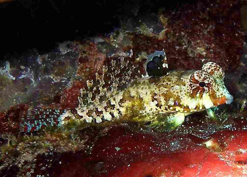 Kapalai, Kapalai,Malaysia,Leierfisch