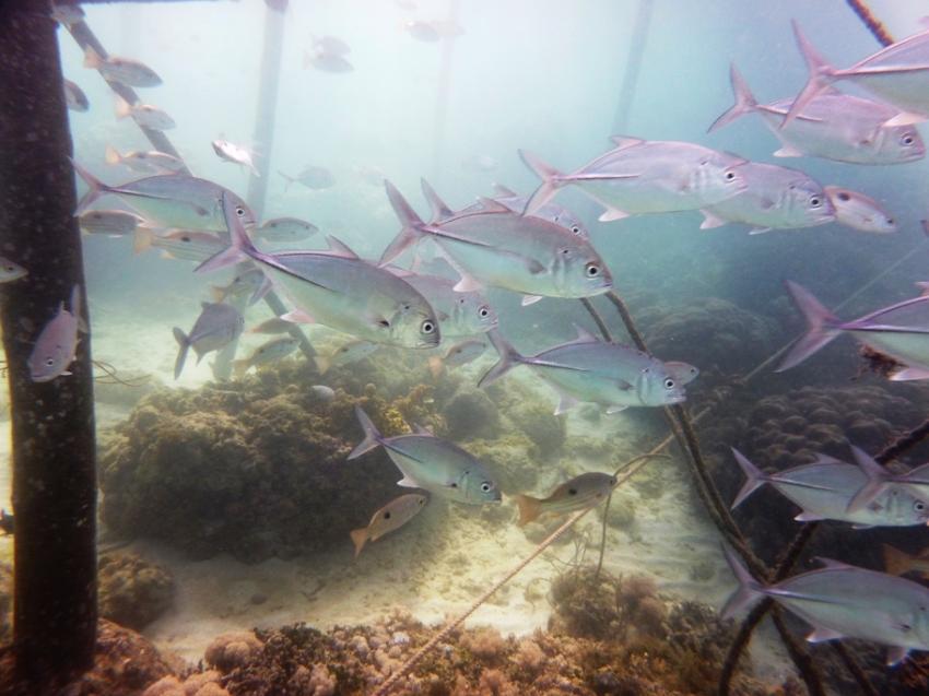379 Fischarten mehr als 14 Anemonen usw., Dive Hub Antulang,Philippinen