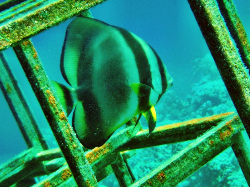 Diving Carnelia