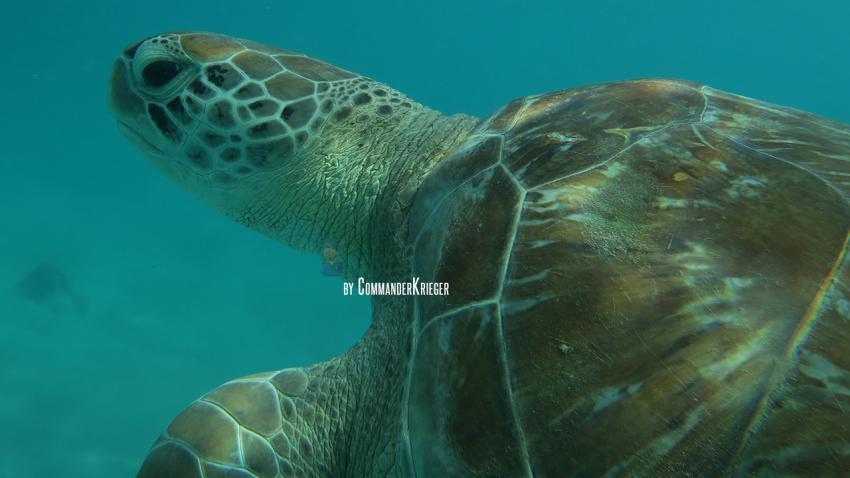 Hausriff, Schildkröte, All West Apartments & Diving, Niederländische Antillen, Curaçao