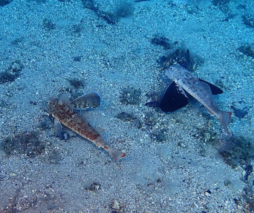 Knurrhahn Mario Juric, Knurrhahn, Styria Guenis Diving Center - DIE Tauchbasis auf der Insel Krk, Kroatien