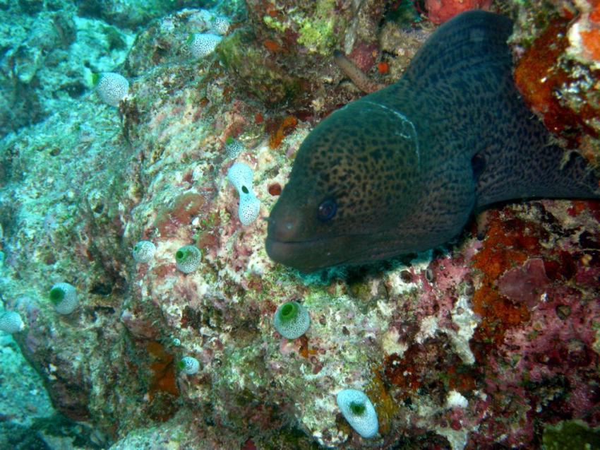 Vilu Reef, Vilu Reef,Malediven,muräne