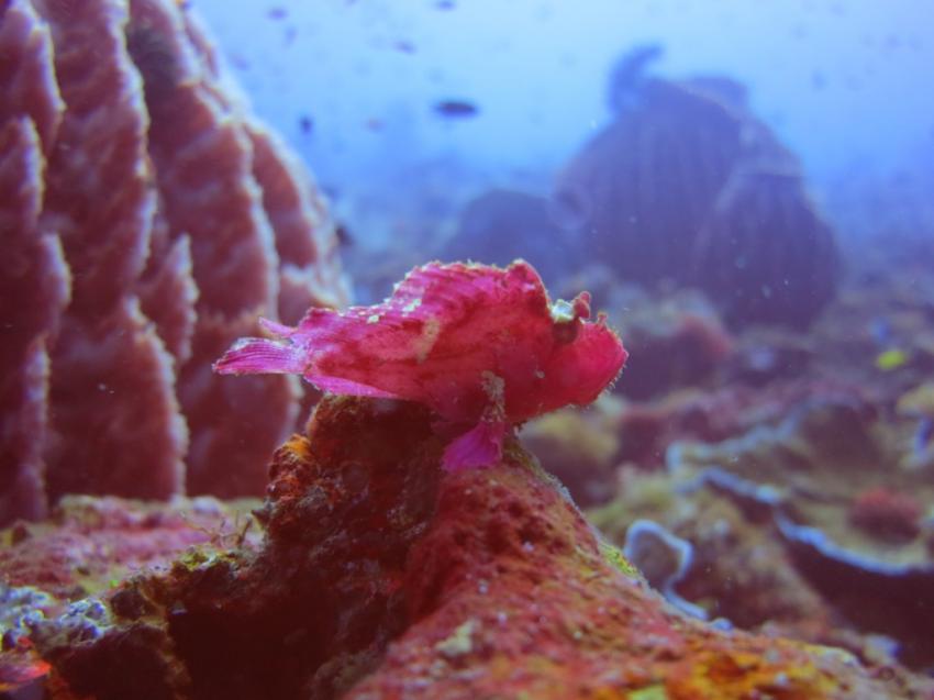 Schaukelfisch, Schaukelfisch, Skorpionfisch, Kubu Indah Dive & Spa Resort, Kubu, Indonesien, Bali