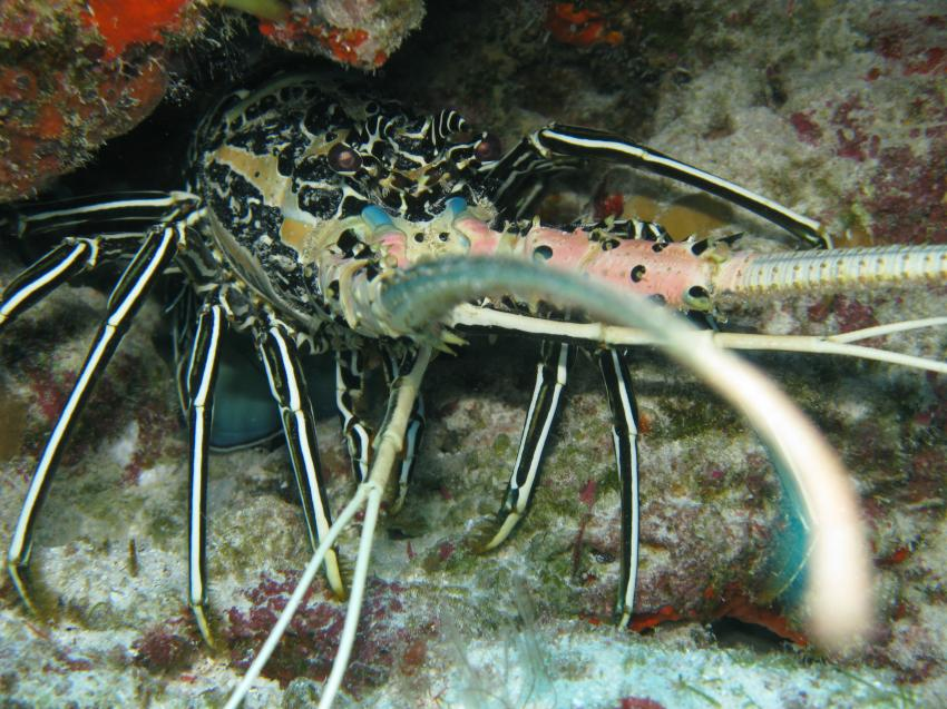 Kuramathi - Rasdhoo Atoll, Kurumathi - Rasdhoo Atoll (Ross Atoll),Malediven,lobster,hummer,fühler