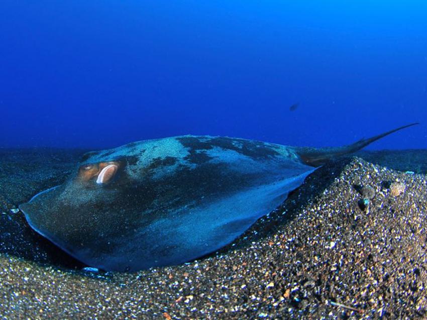 Stachelrochen, Stingray, Stachelrochen, Punkfish Diving La Palma, Spanien, Kanaren (Kanarische Inseln)
