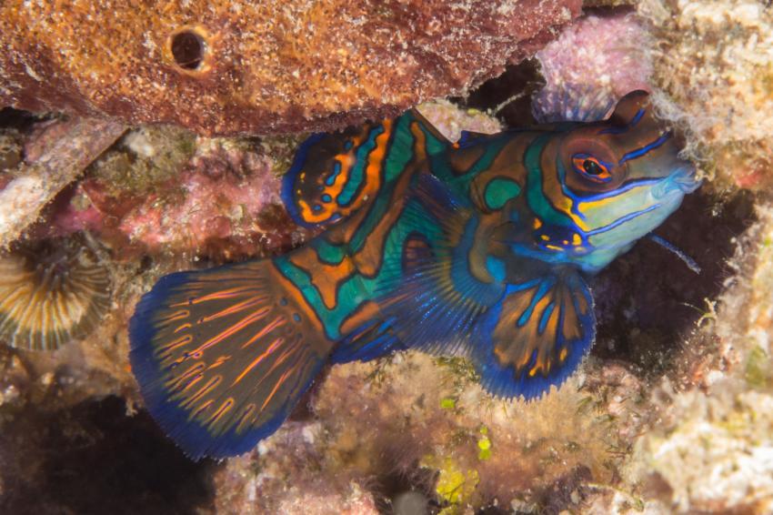 Mandarinfisch, Mandarinfisch, Critters@Lembeh - Lembeh Resort, North Sulawesi, Indonesien, Sulawesi