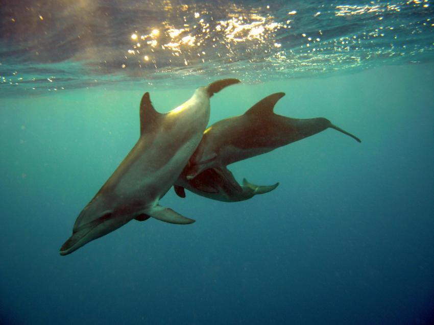 Wracktour Juli 2010, Safari Nordtour,Ägypten,Delfine,Cetacea,Wasseroberfläche