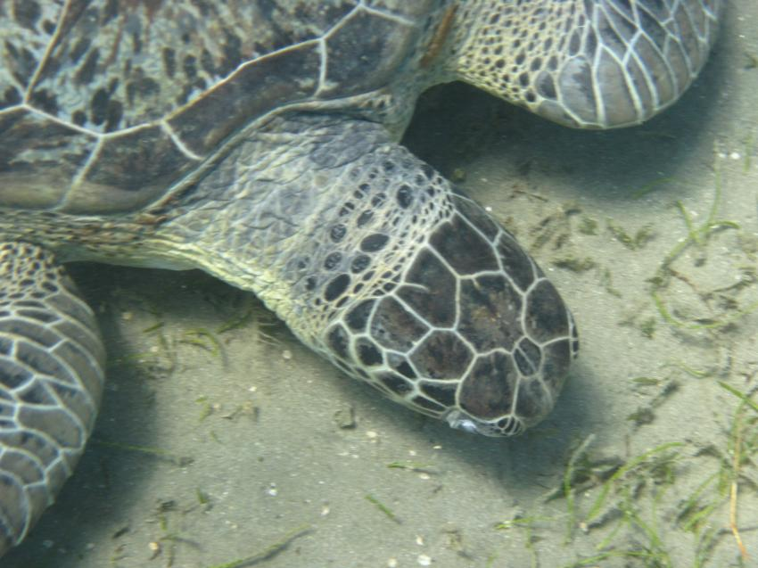 Schnorcheln Juni 2010, Coraya Bay,Ägypten,Meeresschildkröte,Cheloniidae,fressen